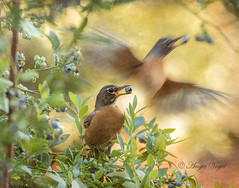 Dining on Blueberries (Angie Vogel Nature Photography) Tags: robin americanrobin bird nature wildlife backyardbirding birdinflight birdwithberry blueberry blueberrybush