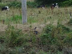 Black & white variety (Phil Gayton) Tags: grass plant pole bird cow magpie canadagoose picapica brantacanadensis blackwhite holstein snipe island totnes devon uk