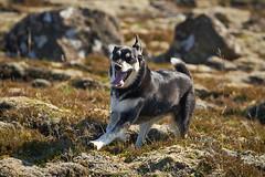 19-july-kotlugengi-patterson_044 (Stefán H. Kristinsson) Tags: dogs hundar hundur playing reykjanes july júlí 2018 nikond800 nikon70200f4 sunny summer