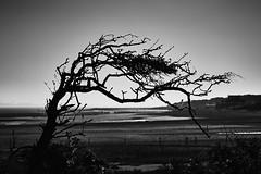 Wind shaped tree (BW version) (MartinGJ56) Tags: landschap kustlandschap landscape seascape boom strand tak nieuwvlietbad zeeland nederland tree sky beach ned