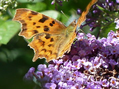 COMMA (2) (mikerichardson3) Tags: butterfly southwestwales carmarthenshire llaingyfre pencader insect