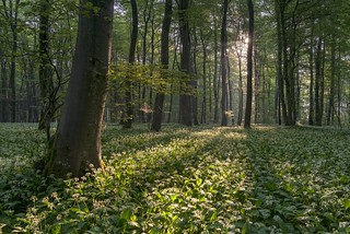 *Morning sun in the wild garlic forest*