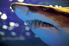Sharky (David K. Werk) Tags: shark ocean teeth danger scary water evil jaws tooth grin mouth bite toothy close aquarium shinagawaaquarium shinagawa