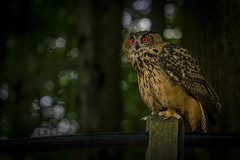 Uhu (hph46) Tags: germany wildpark wildlifepark vogel bird uhu eagleowl sony alpha6500 canonef7020014lisusm