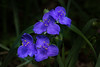 Spider Wort - 041818-111123 (Glenn Anderson.) Tags: flowers cluster nature spring pollin petal stigma style pistil anther filament insect antenn