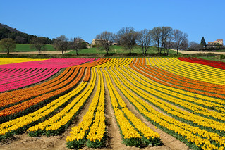 Fields of tulips France_8765