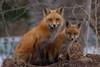 IMG_2899 red fox (starc283) Tags: starc283 wildlife flickr flicker fox foxkits redfox canon canon7d nature naturesfinest nebraska naturewatcher outdoors outdoor predator prairie kit kits kitfox kitfoxes smugbug
