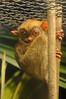 Western tarsier - Cephalopachus bancanus - Sunda-Koboldmaki (Delacouri) Tags: cephalopachus bancanus tarsius tarsier koboldmaki zoo tierpark tiergarten zoopark safaripark safari sunda indonesien indonesia prigen taman iucn vu vulnerable captive asien asia primate primata