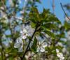 Blossom (Marco van Beek) Tags: europe beautiful world nikon d5000 afs dx nikkor 18200mm f3556g ed vr ii belgium