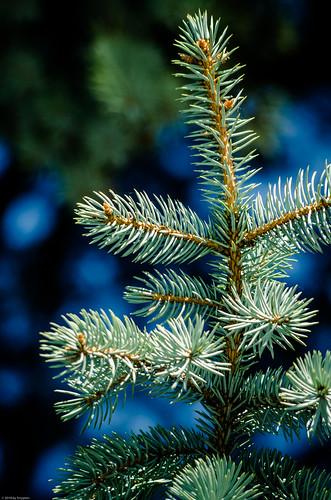 Silver fir