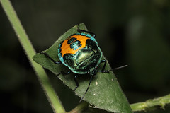 Pentatomidae sp. (Stink Bug - nymph) - Entebbe, Uganda (Nick Dean1) Tags: hemiptera pentatomidae pentatomoidae animalia arthropoda arthropod hexapoda hexapod insect insecta uganda entebbe stinkbug bug shieldbug