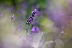 Lavender. (agnieszka.a.morawska) Tags: helios helios44m violet summer garden nature macro dof bkhq beyondbokeh bokehlicious bokeh lawenda lavender