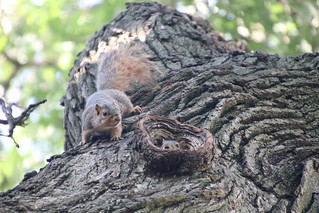 Squirrels in Ann Arbor at the University of Michigan (July 3rd, 2018)