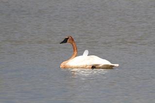 Trumpeter Swan / Cygne trompette ( LIFER )