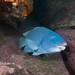 Achoerodus viridis Bluey in his cave