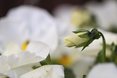 Pansies (haberlea) Tags: garden pansy pansies flowers white yellow plant nature mygarden