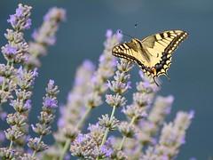 zetevsivke_13 (carlo) Tags: panasonic g9 dmcg9 slovenija slovenia brda goriškabrda colliosloveno lavanda sivka lavender lavendel farfalla butterfly metulj schmetterling