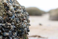 Crowded Rocks (oandrews) Tags: 30dayswild barnacle barnacles beach canon canon70d canonuk coast hunstanton mussel nature norfolk northnorfolk outdoors sea sealife seaside shellfish shore wildlife england unitedkingdom gb