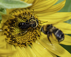 Sunflower-Bee (Patchman 2, Thanks for 1 million views) Tags: sunflower bee nikon tamron tamron18400 nikond500