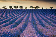 Lavender field at Sunset (Palnick) Tags: field lavender valensole provence colorful violet france purple french lavande fragrance countryside summer aromatherapy blooming plant landscape fragrant flower blue beautiful scent scenic plateau nature provencealpescote beauty scented blossom herbal perfume europe natural lines rural lavander color alpesdehauteprovence sunset aroma lavendin floral tree herb azur nobody sunny bloom harvest outdoor