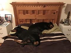 When Dobermanns Take Over........... (firehouse.ie) Tags: gabbana saxon dogs dog k9 pinschers pinscher dobermans doberman dobermanns dobermann dobeys dobey dobies dobie dobes dobe