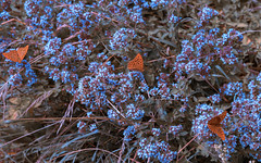 orange is the new pink (_andrea-) Tags: lepidoptera sonya7m2 fe90mmf28macrogoss kaisermantel argynnispaphia andreaimages schmetterling summerday summer butterfly silverwashedfritillary