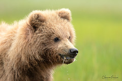 Brown Bear Cub (Sharon's Nature) Tags: ursus ursusarctos canon alaska young wild bear coastalbrownbear cub