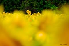 Les têtes qui dépassent (jpto_55) Tags: tournesol jaune fleur bokeh fuji fujifilm fujixf55200mmf3548rlmois hautegaronne france