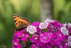 Butterfly (ivanstevensphotography) Tags: butterfly flowers garden