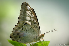 They Told Me I Couldn't, That's Why I Did (_Natasa_) Tags: butterfly macro closeup dof depthoffield nature art green wings butterflywings natasaopacic natasaopacicphotography canon canoneos7d canonef100mmf28lmacroisusm