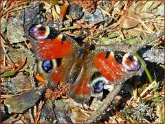 Tagpfauenauge (Aglais io) (Christoph Bieberstein) Tags: tschechien tschechische republik böhmen nordböhmen lausitzer bergland lužické hory czech republic bohemia česko ceská republika butterfly schmetterling motýlka tagpfauenauge aglais io herdstein