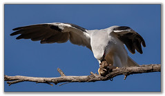 Rodent woes (tassie303) Tags: blackshoulderedkite kite bird mouse