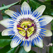 Passion Flower (Caerulea Passiflora)