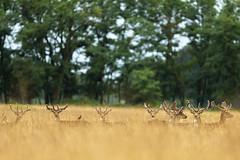 Herd of stags (adambotond) Tags: stags herd fallowdeer damadama deer outdoor animal wildlife wildlifephotography wild wilderness wildanimal nature naturephotography magyarország mammal ruminant forest field canon canoneos1dx canonef400f4doisiiusm europe magyar hungary adambotond xantus csokonyavisonta somogy stvsz