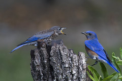 Eastern Bluebird male and juvenile (AllHarts) Tags: juvenileandadulteasternbluebirds backyardbirds memphistn naturesspirit thesunshinegroup specanimal nationalgeographic naturescarousel ngc npc sjohnsonsfauna