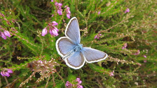 Silver studded blue