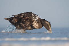Common Eider (Jesse_in_CT) Tags: commoneider duck nikon