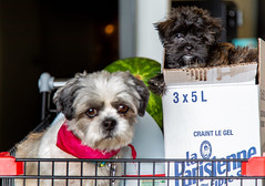 Café & new one puppy Carbo (BLEUnord) Tags: chiens dogs animaux animals shih tzu shistzu shihtzu yorkshire males puppy puppies panier épicerie grocery basket