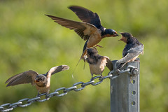 "Young Barn Swallows Getting Dinner (Catherine ""Cat"" Rose) Tags: 2018 july ridgefieldnationalwildliferefuge"