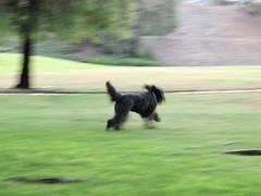 Essence of Benni (Bennilover) Tags: park blurry delete no benni dogs black running labradoodle fun zoomies