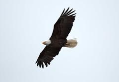 MRC_5625 Bald Eagle @70m (Obsies) Tags: baldeagle eagle katmai katmainps brooksfalls brookslodge alaska wildlife bif birdsinflight rapaces raptors aguila