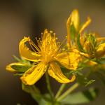 Flor de Sant Joan    Lladorre   Parc Natural de l'Alt Pirineu thumbnail