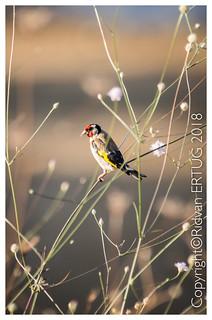 Goldfinch - Male / Carduelis carduelis