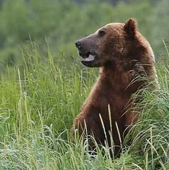 Alaska105 (lorstierlen) Tags: kodiak katmai nature bears wildlife seal
