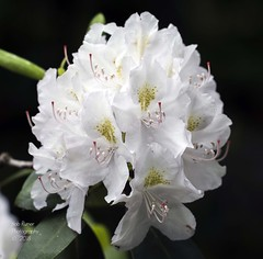 Rhododendron (rumerbob) Tags: rhododendron flower floral flowergarden fauna macro macroflower macrophotography botany botanicalgardens botanical longwoodgardens nature naturewatcher naturephotography canon7dmarkii canon100mmmacrolens