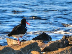 Pied oystercatcher (elphweb) Tags: hdr highdynamicrange nsw australia seaside sea ocean water bird birds seabirds piedoystercatcher oystercatcher