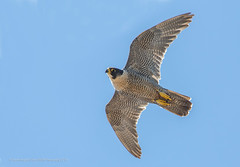 Peregrine Falcon (Steven Mcgrath (Glesgastef)) Tags: prey peregrine falcon female raptor glasgow scotland scottish canon city urban bird birdofprey flight
