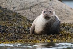 D50_6475.jpg (ManuelSilveira) Tags: mamiferosmarinhos focacomum locais mamiferos escocia fauna harborseal phocavitulina tobermory scotland reinounido gb
