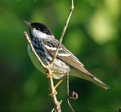 Blackpoll Warbler (Setophaga striata) 05-10-2018 Patuxent River Park--Wooton's Landing, Anne Arundel Co. MD 3 (Birder20714) Tags: birds maryland warblers parulidae setophaga striata