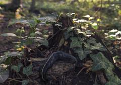 Slug stump (_Corvus97_) Tags: nikon d3100 slug forest tree leaves lights green animalplanet